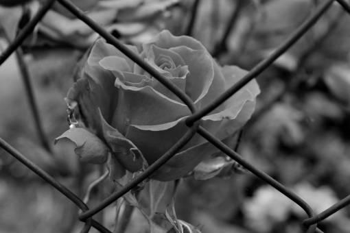 fence flower garden iron rose plant barrier leaf nature