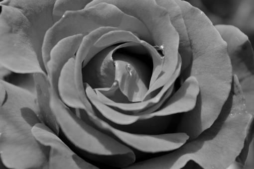 rose rain petals petal dew flower romance affection blooming