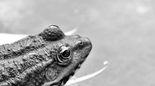 amphibian bullfrog animal frog water nature wildlife eye reptile outdoors  amphibians