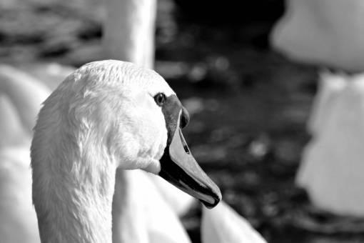 aquatic swan feather bird wildlife nature beak waterfowl lake animal kb