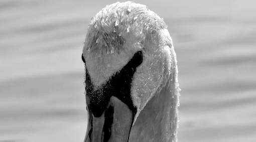 aquatic wildlife bird water winter swan waterfowl nature lake animal  birds