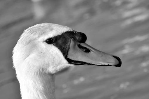 aquatic wildlife head detail bird animal swan waterfowl nature lake  birds animals