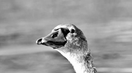 beak close animal nature bird bec wildlife head faune oiseau oiseaux aquatique sauvagine aquatic waterfowl cygne cou gratuit belle eau