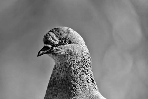 beak close bird colorful eye animal eyeball pigeon nature head