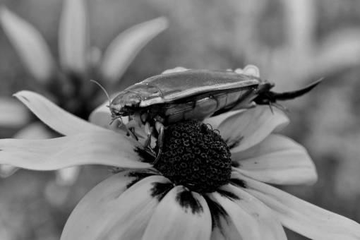 beetle animal head close arthropod flowers insect blooming biology bloom kb
