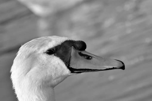 bird aquatic swan waterfowl wildlife outdoors nature animal water  swans