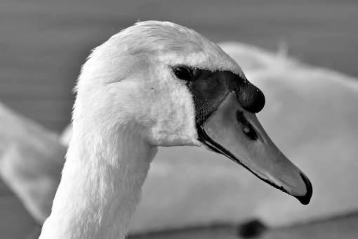 bird swan aquatic waterfowl wildlife poultry outdoors lake animal water
