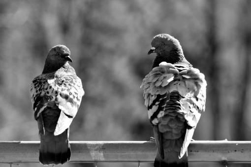 birds bird feather outdoors beak pigeon fence wildlife nature animal