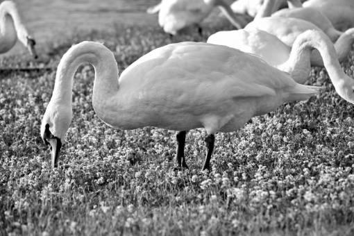 birds grass bird swan beak water wading grazing wildlife plants aquatic
