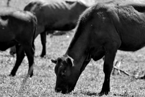 bull cow grazing animal field livestock meadow calf ranch grass