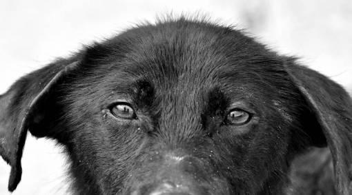 canine puppy portrait eyes dog monochrome fur eye animal hair