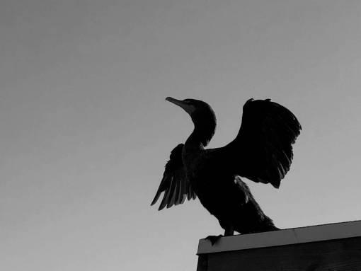cormorant bird wings ptica magpie beak animal wildlife wild nature kormoran voda vogel priroda morska krila svraka  elster odraz