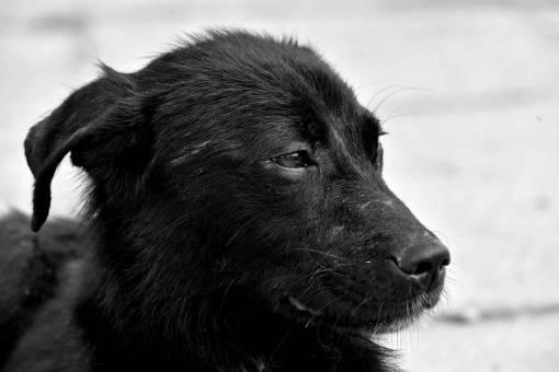dog side portrait puppy cute eye animal shepherd canine
