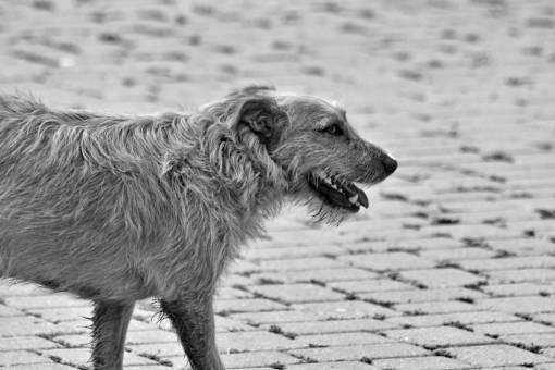 dog walking brown hunting canine pavement grass fur animal dogs