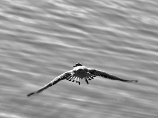 fast movement wings flight water animal bird seagulls wildlife nature  kb
