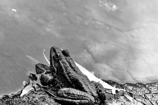 frog amphibian nature water bullfrog wildlife outdoors wild lake animal