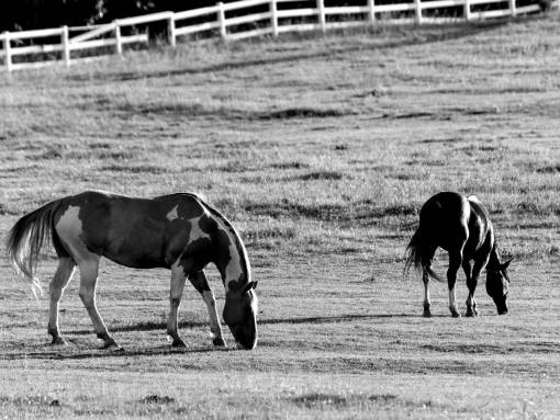 grazing horse horses farm farmland field animal grass stallion cavalry animals