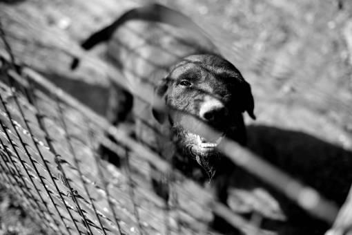 hunting dog animal head brown fence alone eye portrait  dogs