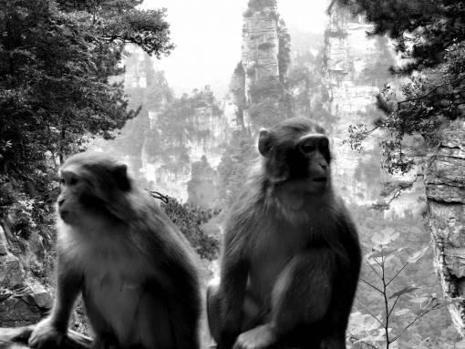 macaque monkey wildlife jungle tree primate wild animal nature  monkeys animals