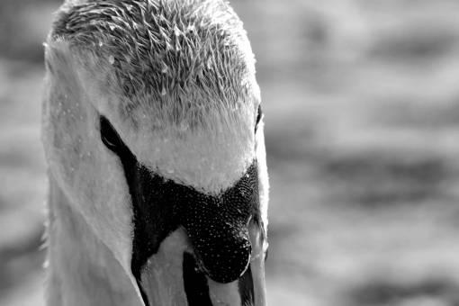 nature swan feather animal wildlife outdoors bird water waterfowl swimming