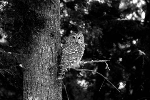 owl habitat forest natural pine nature wildlife outdoors bird tree beak birds animals copyright without