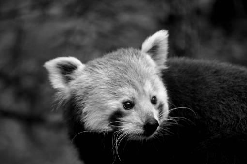 panda endangered nature species head bear cute wildlife fur habitat natural kb