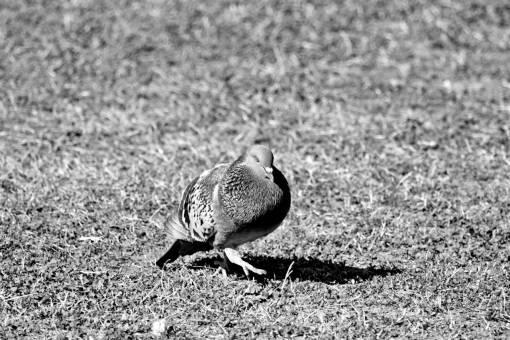 pigeon beak wilderness wildlife animal feather grass bird wild nature