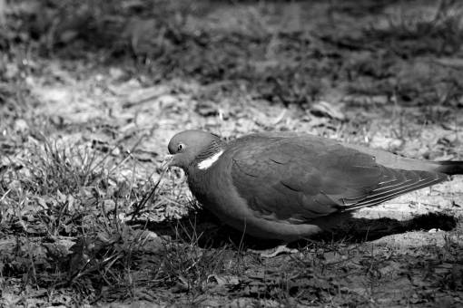 pigeon colorful wild beak bird feather wildlife wing nature animal medium kb