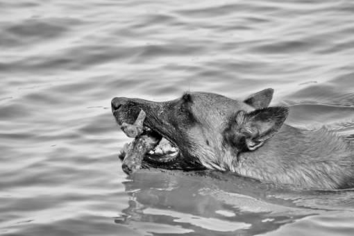side close dog animal wet cute nature shepherd swimming lake summer  animals