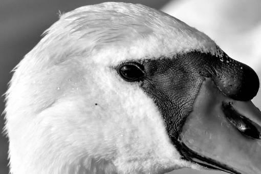 skin bird swan eye beak head animal wildlife outdoors nature kb