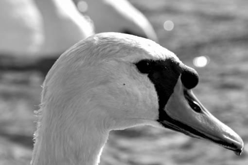 swan aquatic wildlife water waterfowl bird nature swimming outdoors lake animal