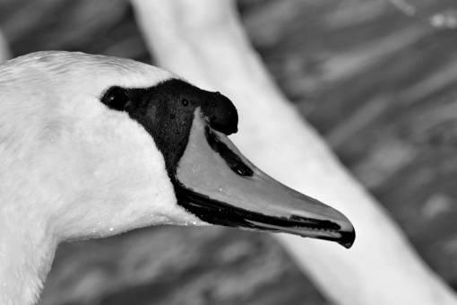 wet skin bird beak waterfowl aquatic wildlife swan looking head
