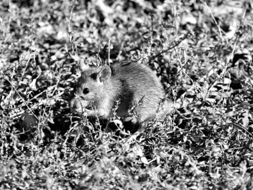 wild mouse rodent grass fur wildlife nature outdoors animal maus tierwelt nagetier natur  gras pelz niedlich freien tier roedor