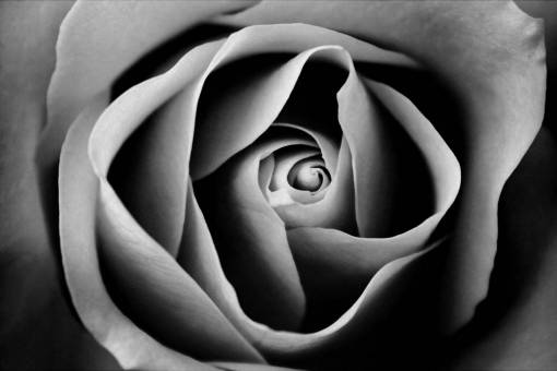 black and white  flower  petal  close up