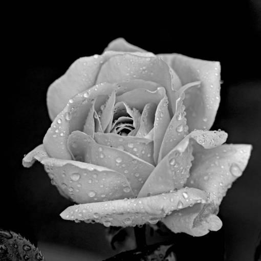 black and white  flower  petal  flora  close