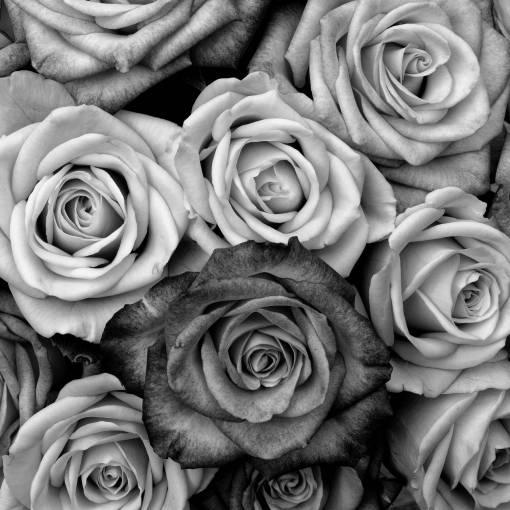 black and white  flower  petal  love  fine