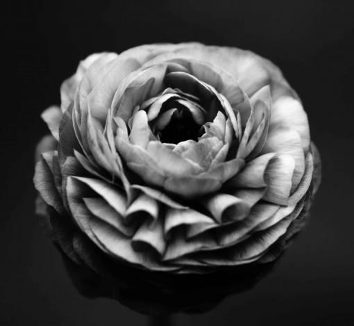 black and white  plant  flower  petal  flora
