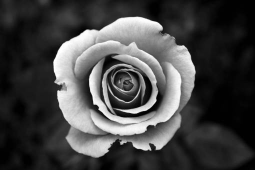 blossom  black and white  flower  petal