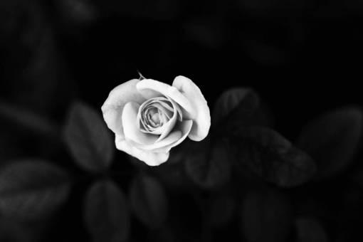 blossom  flower  petal  spring  darkness
