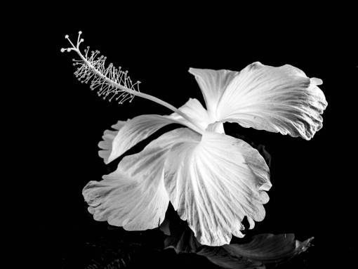 blossom  wing  black and white  flower