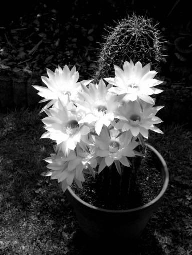 cactus flower garden flowering flowerpot flora nature flowers