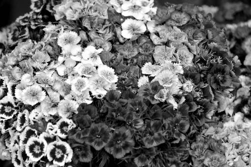 cluster colorful bouquet nature carnation flower summer petal shrub flowers plants