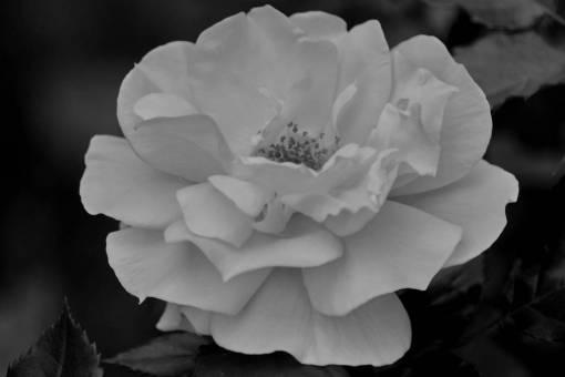 flora plant nature flower rose petal bloom leaf garden