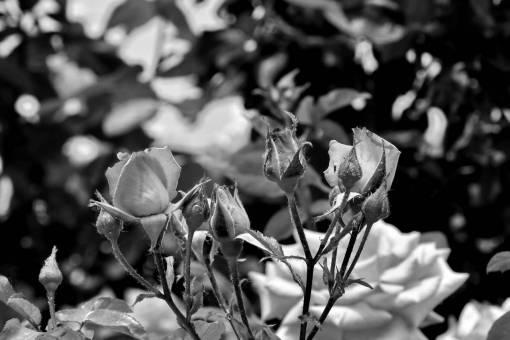 flower leaf branches plant rose shrub garden flora nature  flowers