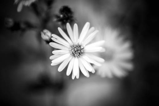 flower  monochrome photography  black and