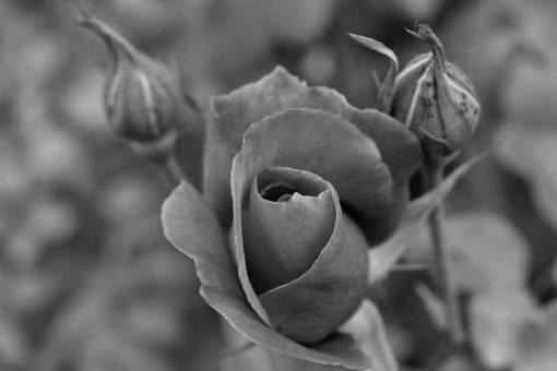 flower roses garden stem pink bud plant flora nature kb