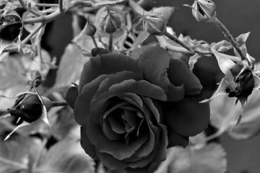flowers flower garden rose plant leaf horticulture shrub romance