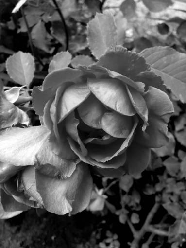 flowers roses bouquet garden flower spring rose pink petals pinkish romance kb