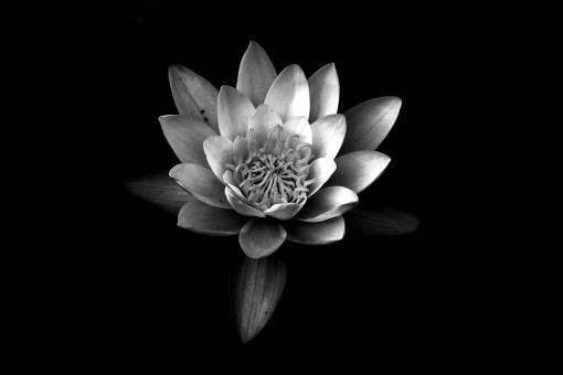 fragrant white water lily  petal  monochrome