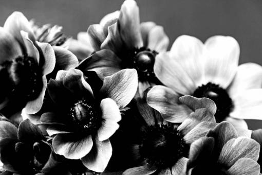 Free Images  anemone, ?flower?, ?flowers?, bouquet, ?black?